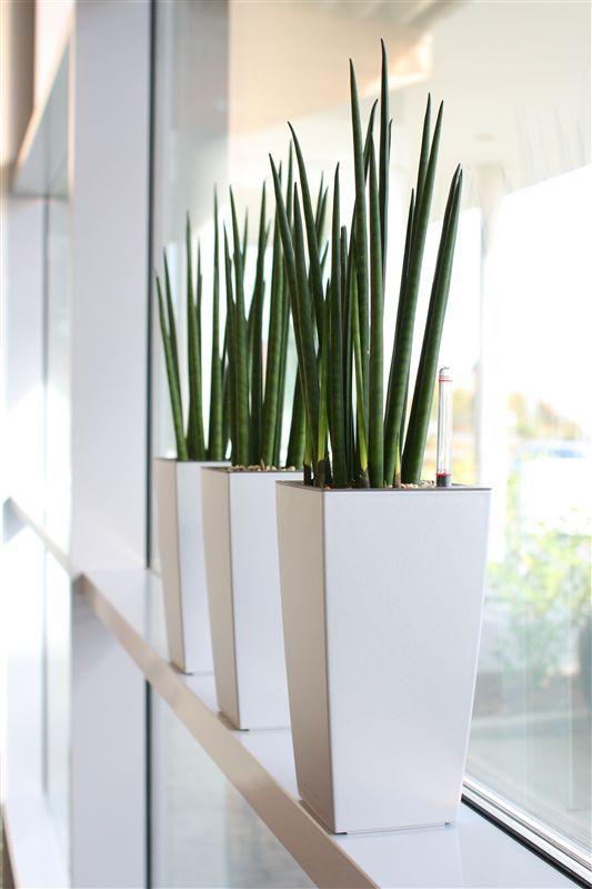 Sansevieria cylindrica zimmerpflanzen balkon for Zimmerpflanzen modern
