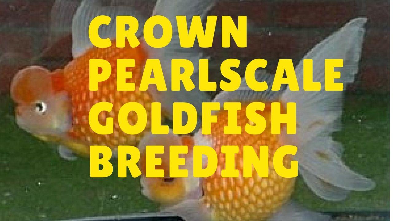 Crown Pearlscale Goldfish Breeding Goldfish Breeding Goldfish Goldfish Types