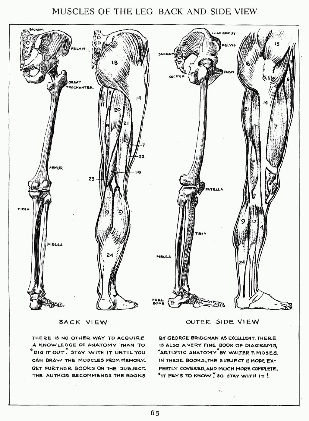 Andrew Loomis Muscles of the Right Leg Side & Back | Anatomy ...