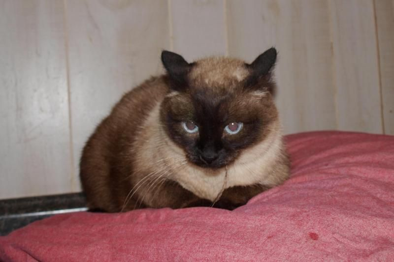 Kit Kat Is An Adoptable Siamese Searching For A Forever Family Near Jackson Ms Use Petfinder To Find Adoptable Pets In Your Area Adoption Kit Kat Cute Cats