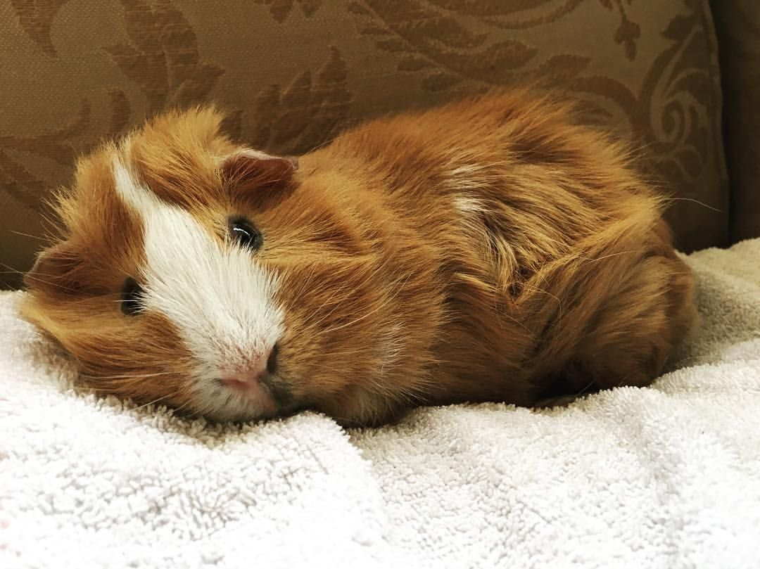 baby guinea pigs – the owner's care guide | baby guinea pigs, animal
