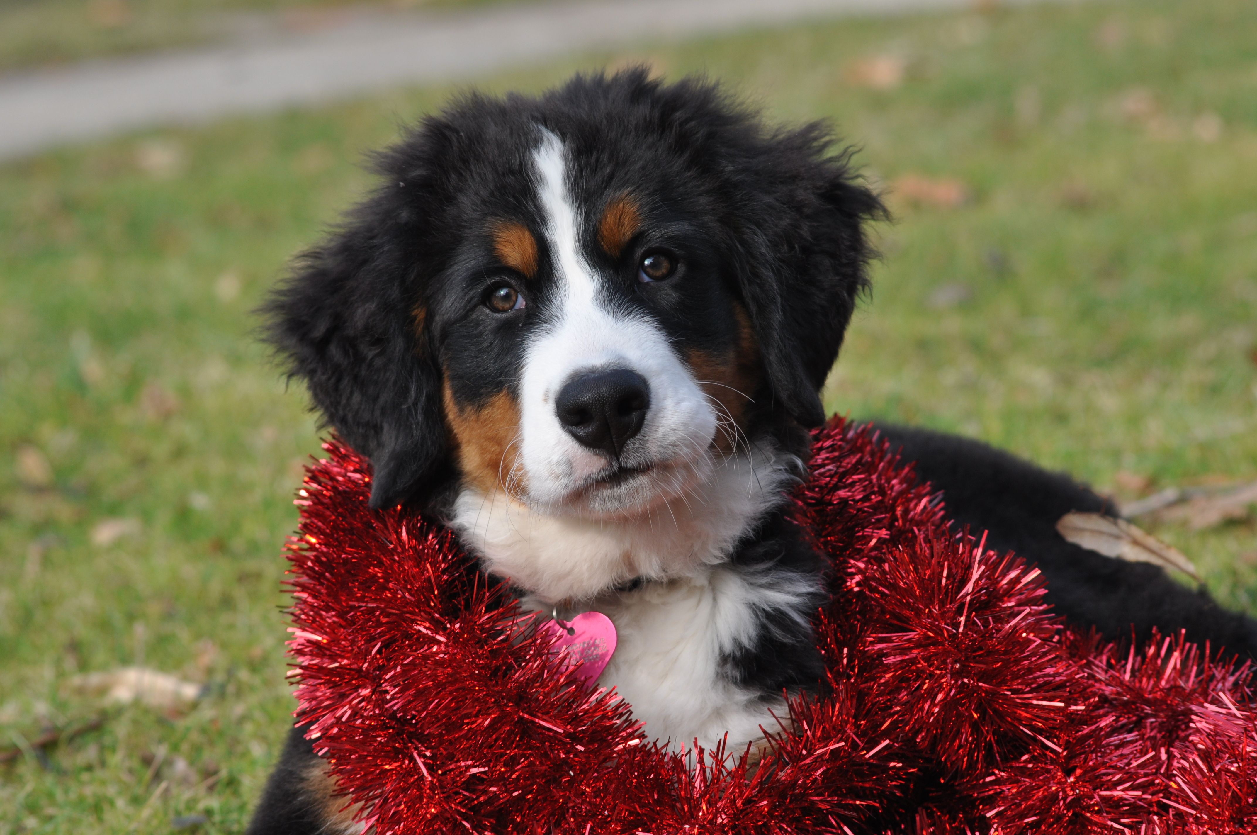Bernese Mountain Dog Bernese Mountain Dog Swiss Mountain Dogs Cute Animals