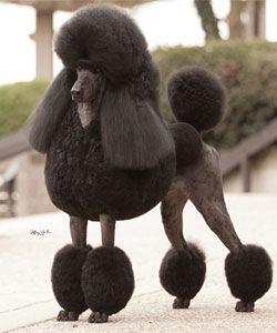 Giant Poodle Giant Poodle Poodle Standard Poodle