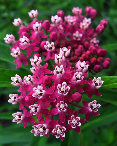Swamp Milkweed   Http://www.gardenswithwings.com/what Is