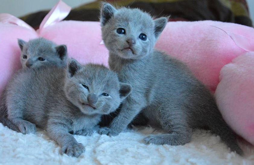 A Grinning Russian Blue Kitten Blue Cats Russian Blue Russian Blue Cat