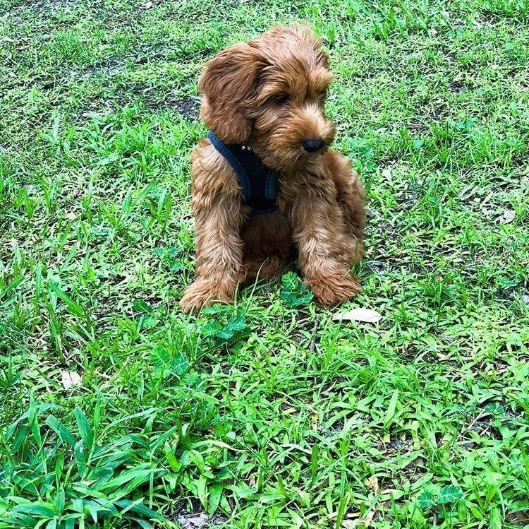 Pin on Cockapoo puppies