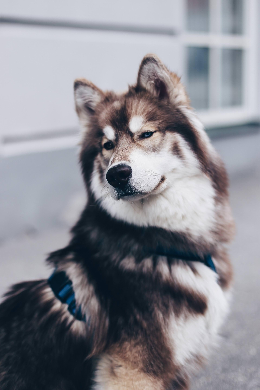 5 Facts Uber Den Sibirischen Husky Teddy The Pawsome Tyroleans Sibirischer Husky Teddy Hund Husky
