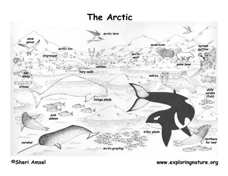 artic animals coloring place mates for kids - Arctic Colouring Pages