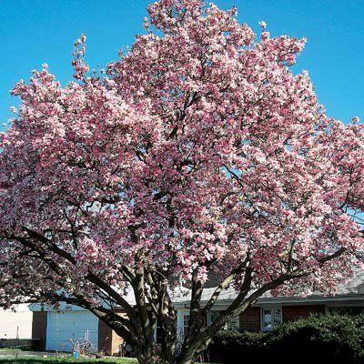 Pink Flowering Magnolia Wisteria Tree Pink Flowering Trees Plants