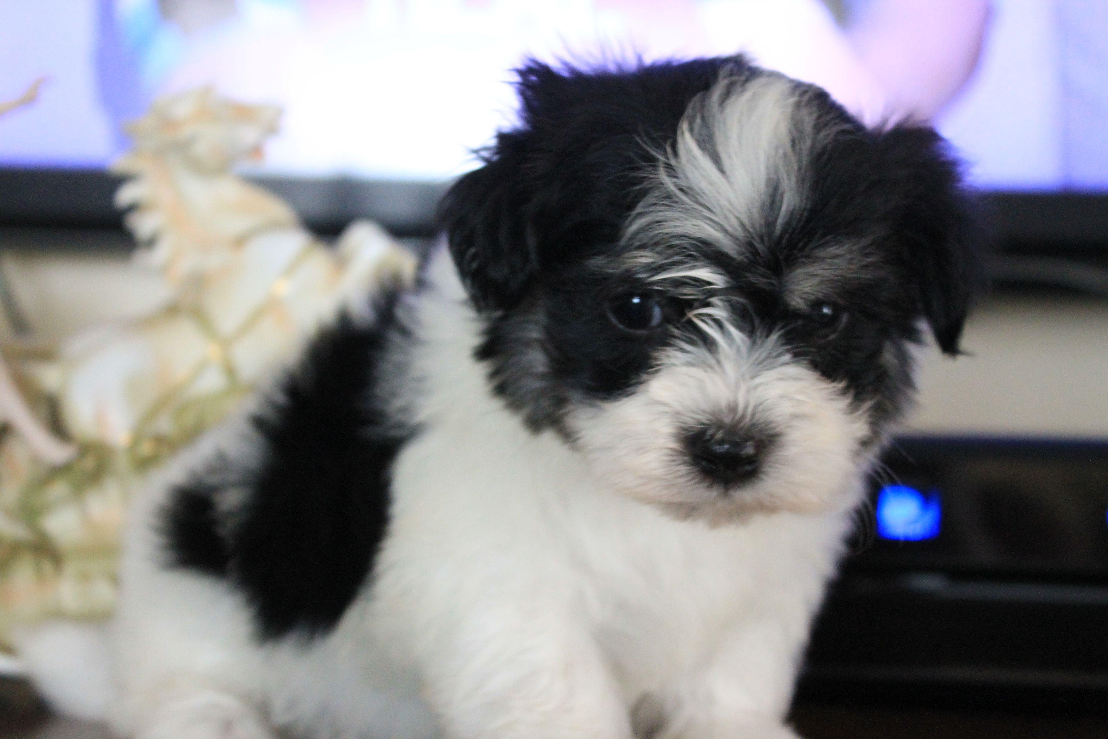 Meet Bogie At 6 Weeks Havanese Puppies