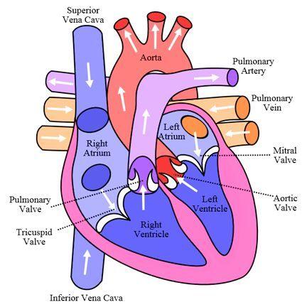 Heart anatomy, circulation | Human heart diagram, Human ...