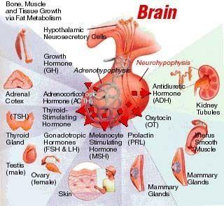 18 Endocrine System LAB flashcards | Quizlet | Endocrine ...