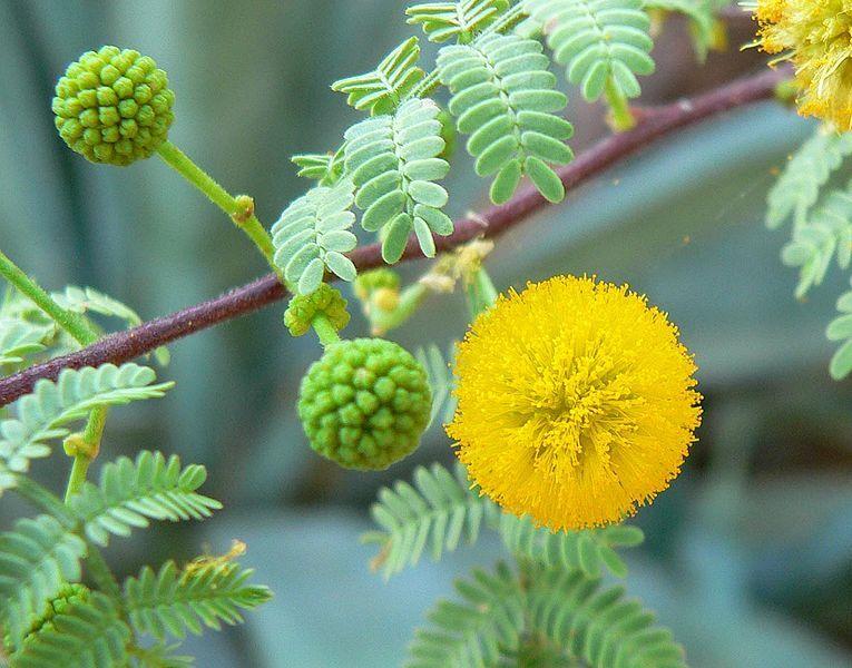 Acacia Constricta Flower Semillas De Arbol Acacia Flores