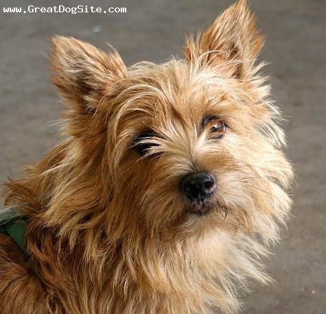 Norwich Terrier Norwich Terrier Terrier Norfolk Terrier