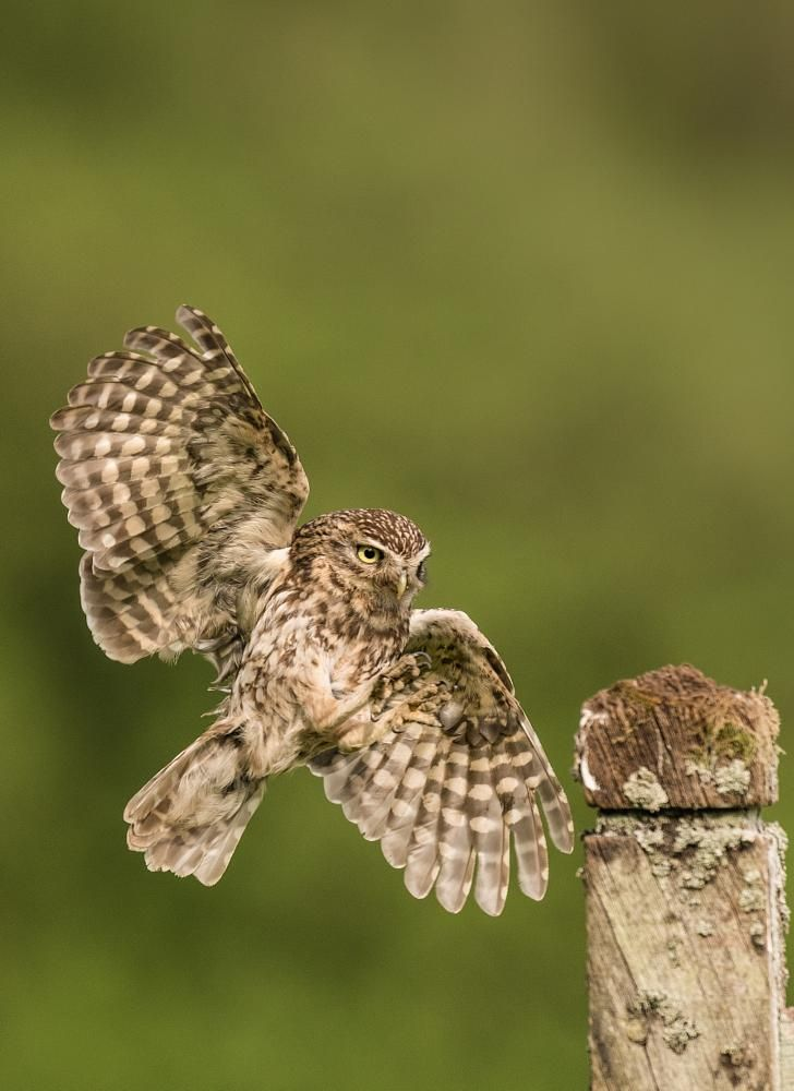 Little owl by Nick Holland