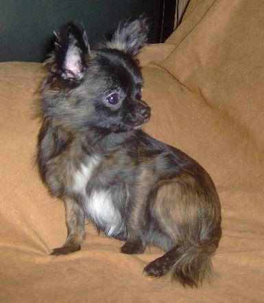 Chocolate Long Haired Chihuahua Brindle Long Coat Chihuahua