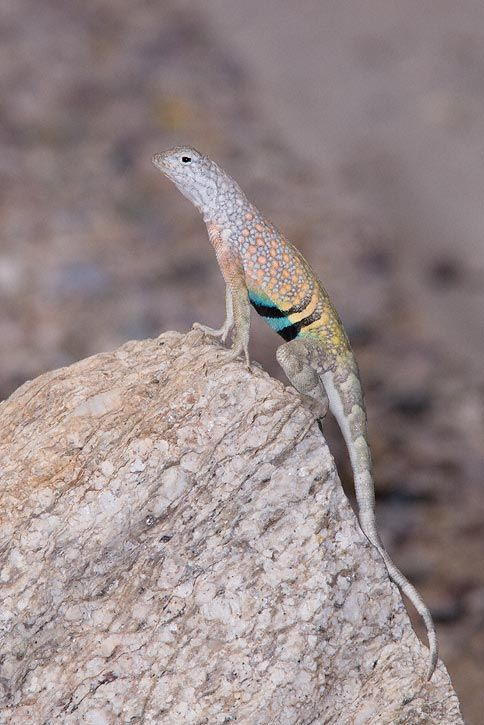 Greater Earless Lizard (Cophosaurus texanus)