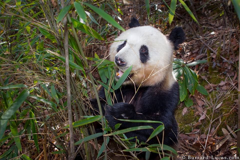A wild giant panda photographed in the remote mountains of Shaanxi province, China