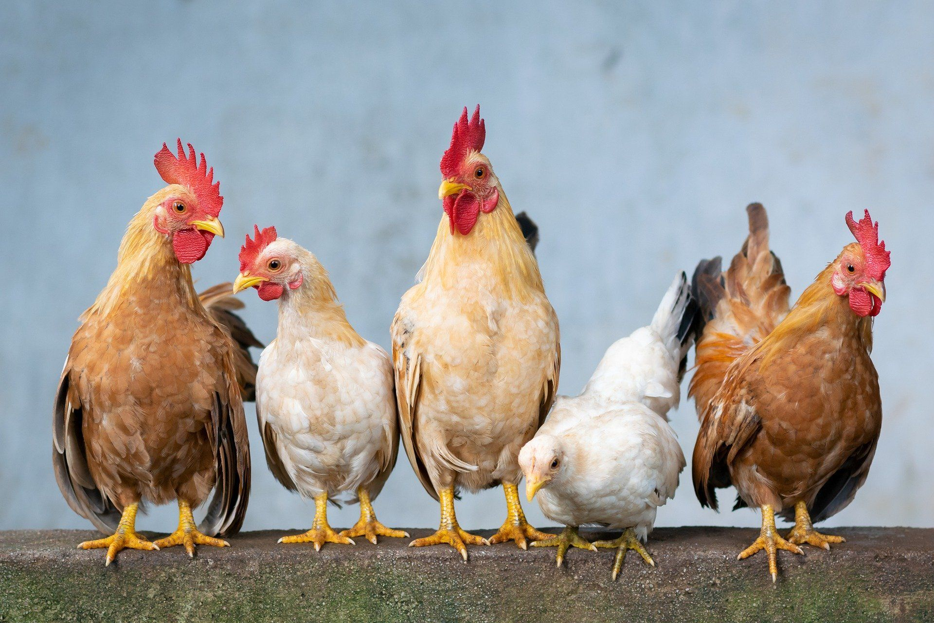 Today Is Farm Animal Day Do You Have A Favorite In 2020 Pet Chickens Animals Rooster