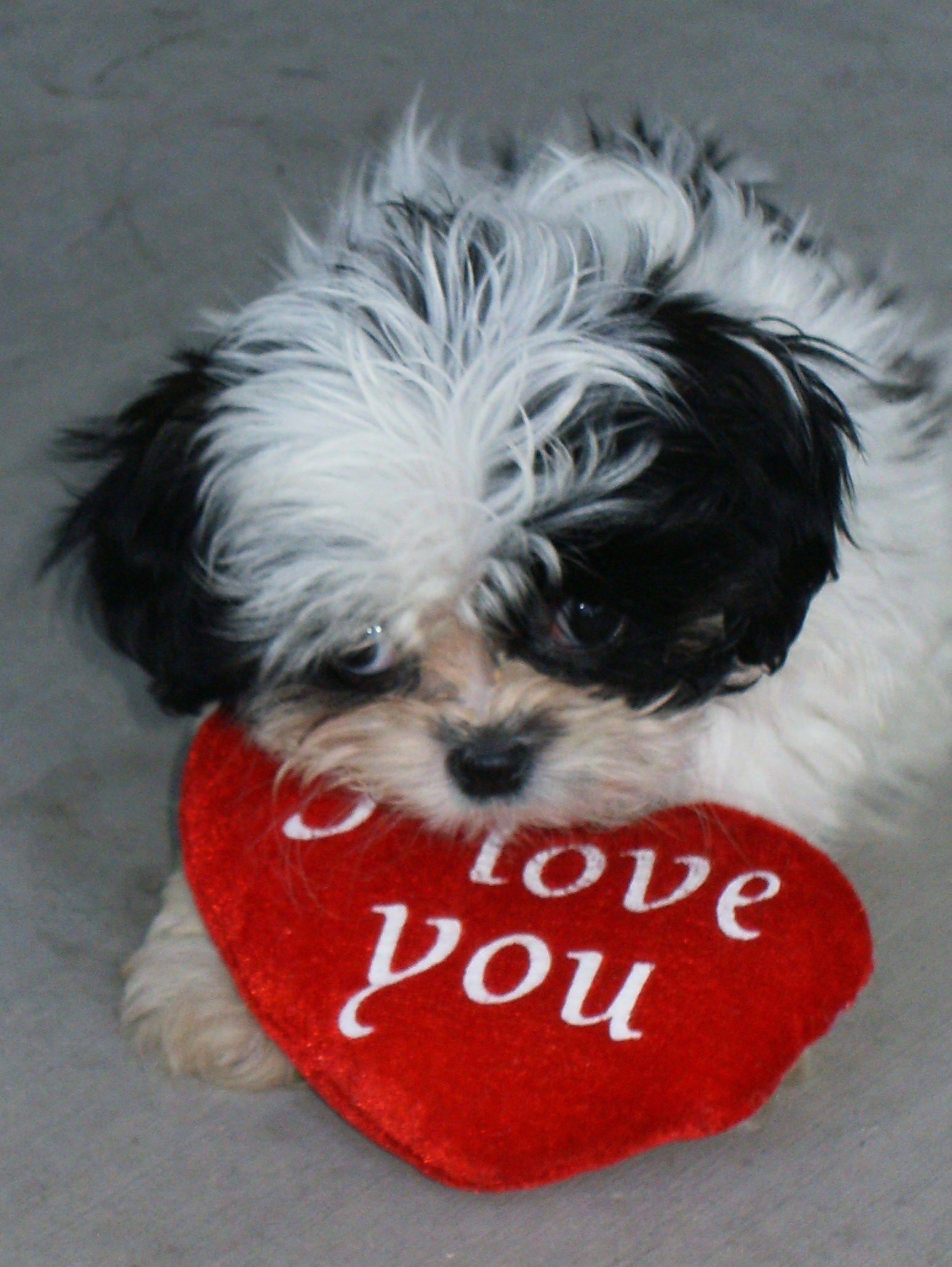 Valentine Tzu Happy Valentines Day Shih Tzu Shih Tzu Dog Shih