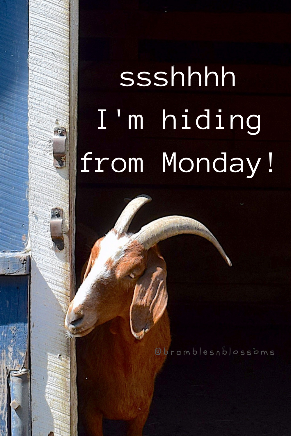 Cute Goat Hiding From Monday Bramble Avenue Goats Cute Goats Goat Quote