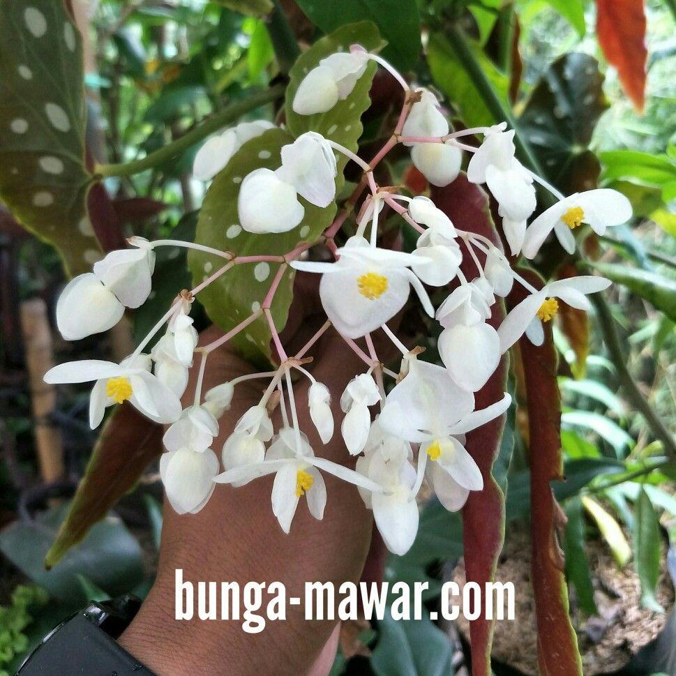 White Flowers Of Begonia Plant Flowers Pinterest