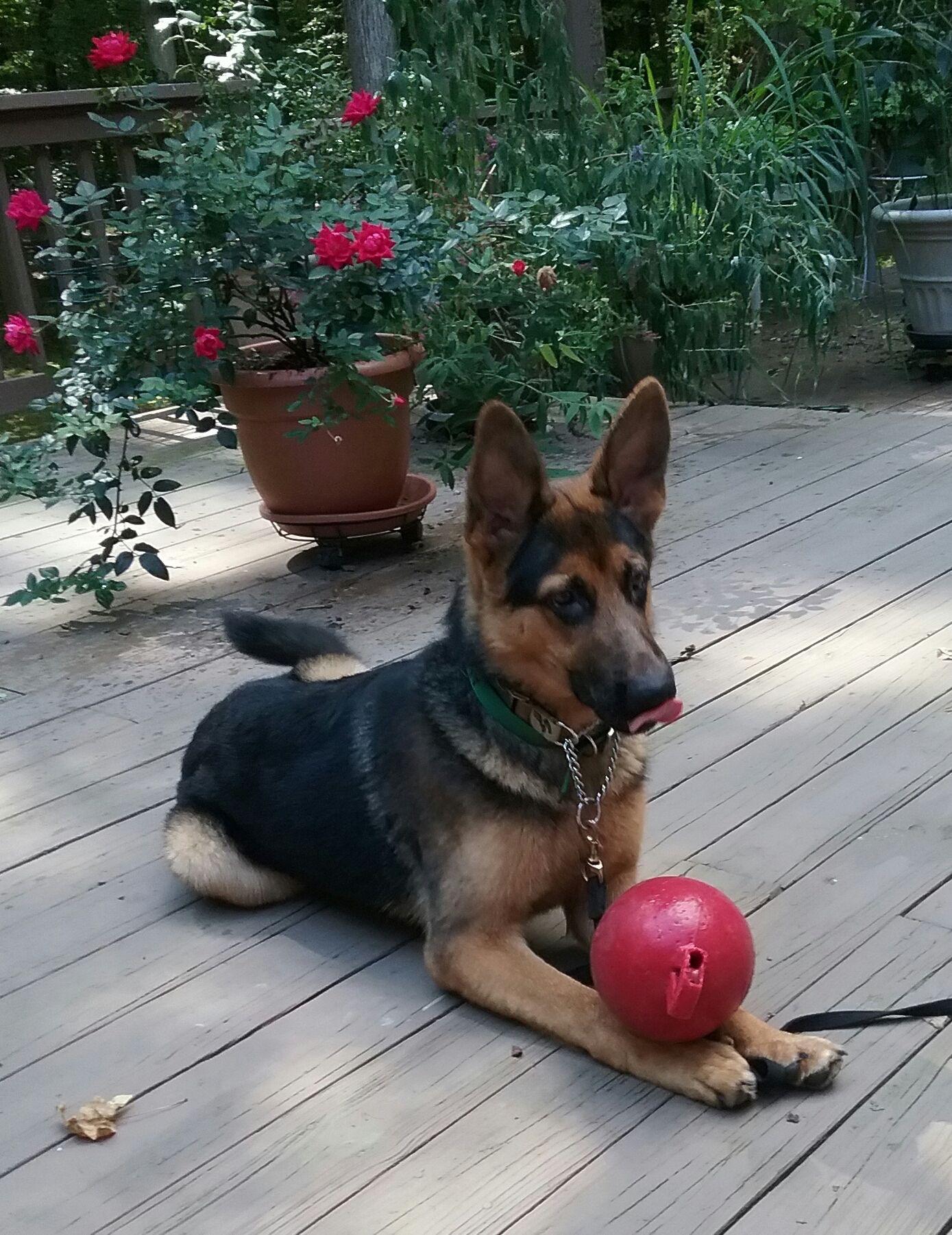 German Shepherd Dog Dog For Adoption In Baltimore Md Adn 672338