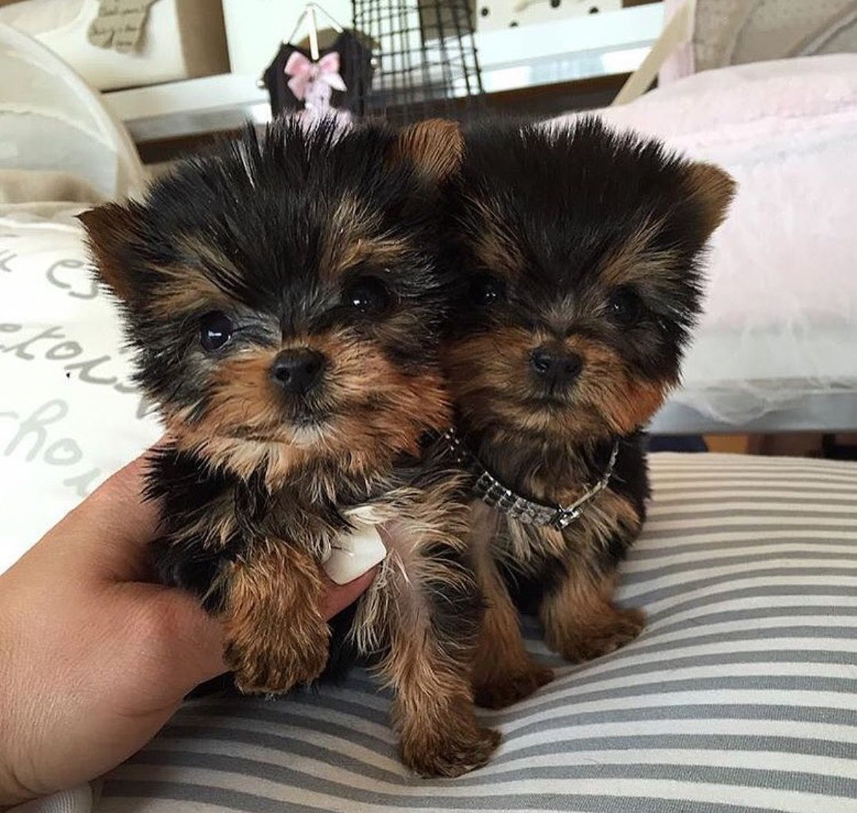 Pin by milly4bri on PETS Yorkie puppy, Teacup yorkie, Yorkie