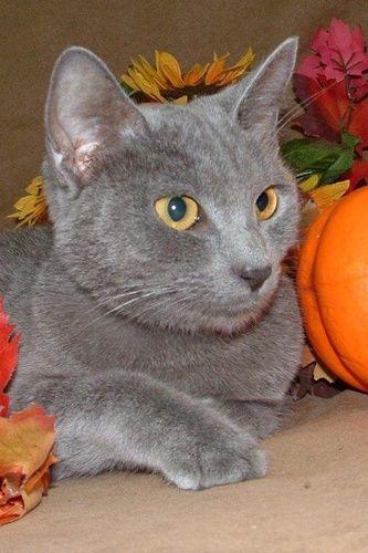 KAMILLA Russian Blue Cat Richmond IL Russian blue