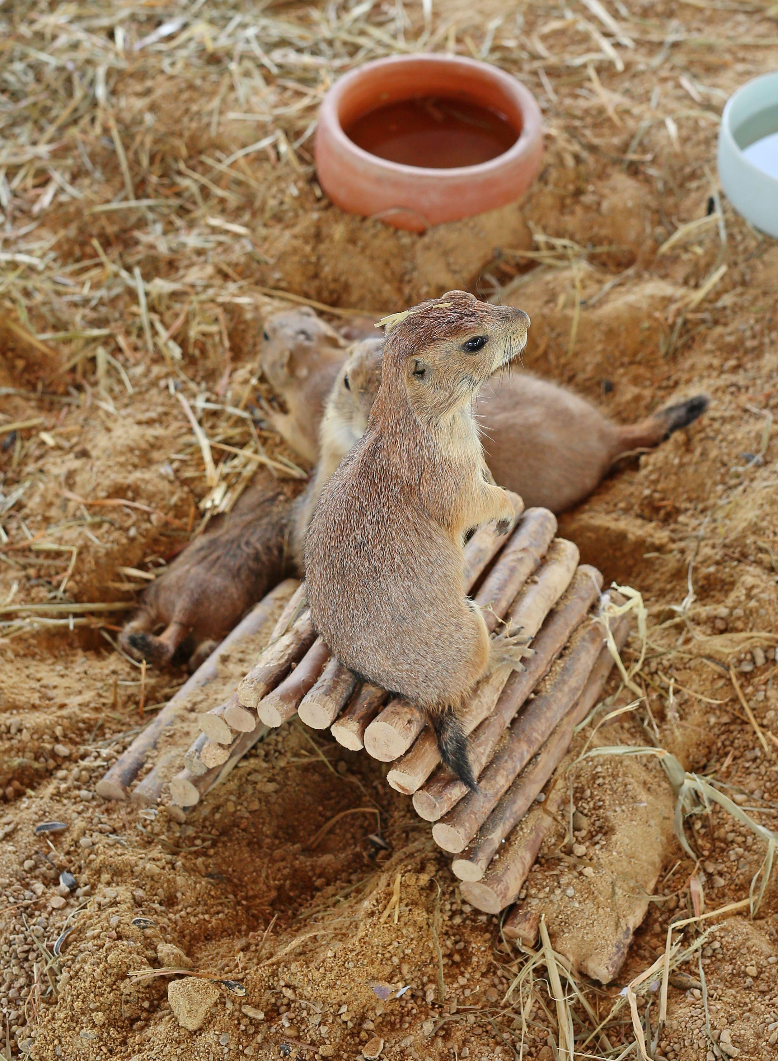 Black tailed prairie dog cynomys ludovicianus beloved