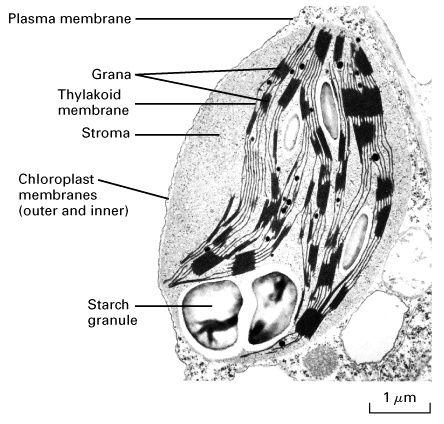 transmission electron micrograph of chloroplast
