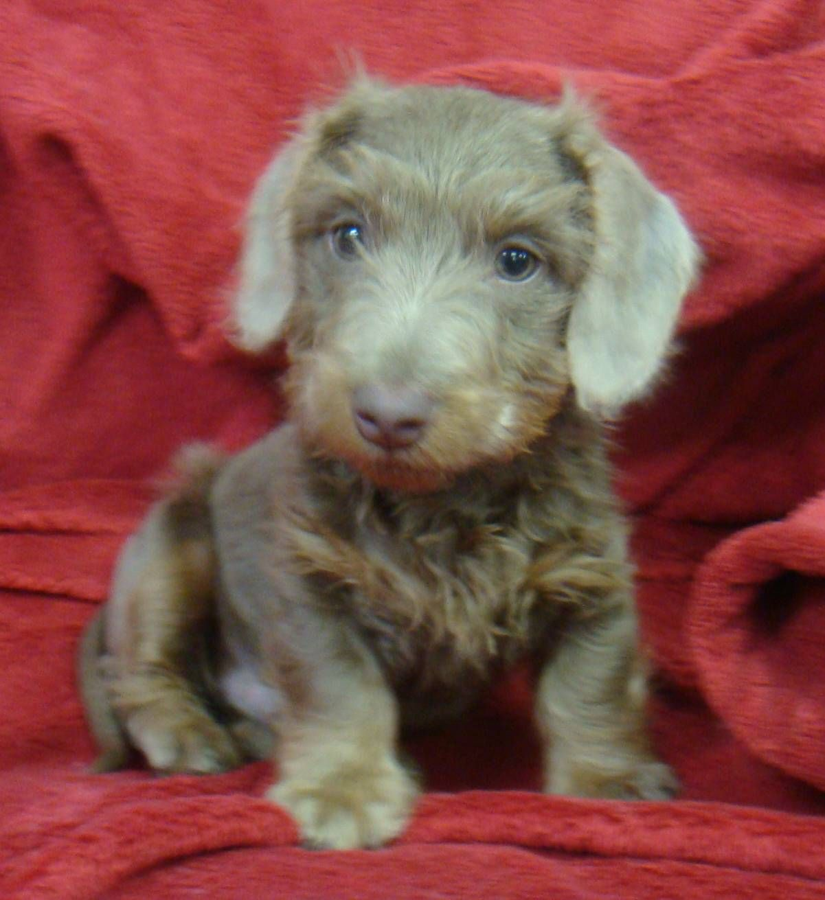 Wire haired dachshund puppy doxies pinterest wire haired