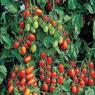 Grape Tomato Juliet Hybrid Plant