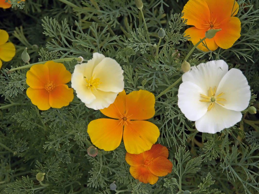 Tuliunikko, Eschscholzia californica - Kukkakasvit - LuontoPortti