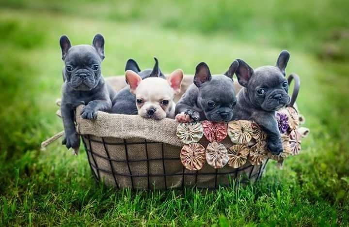 French Bulldog Puppies Available 512 567 4501 Aphroditebulldogs Aol Com Www Aphroditebulldogs Com French Bulldog Puppies Cute French Bulldog Bulldog