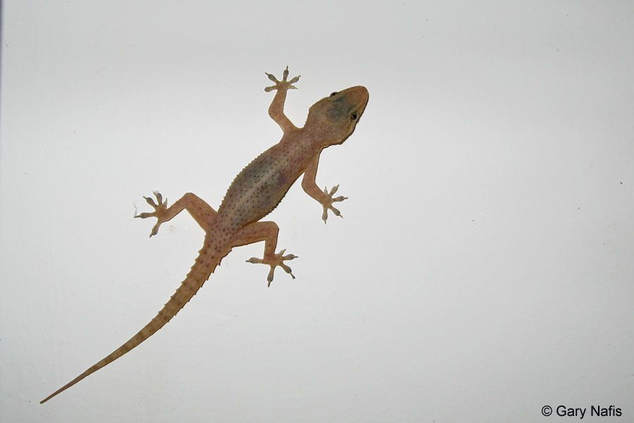 All About Gecko Lizards House Gecko Sp Goa India House Gecko