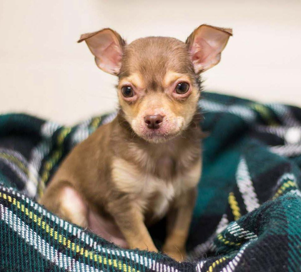 Chihuahua Puppy Sitting On A Plaid Blanket Training Your Dog