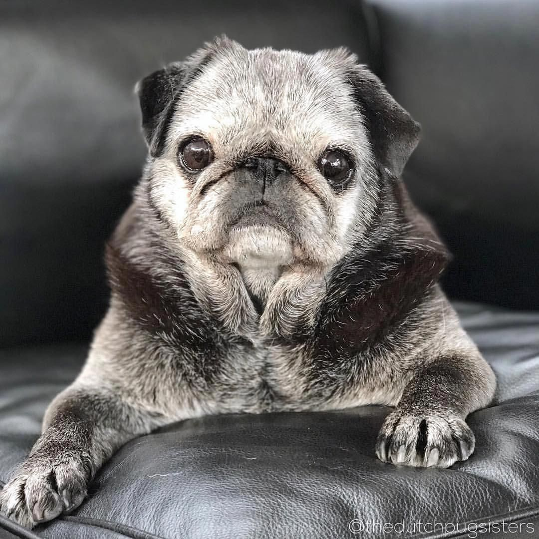 Apply For Access Clarified Dog Lovers Pugs Funny Baby Pugs Old Pug