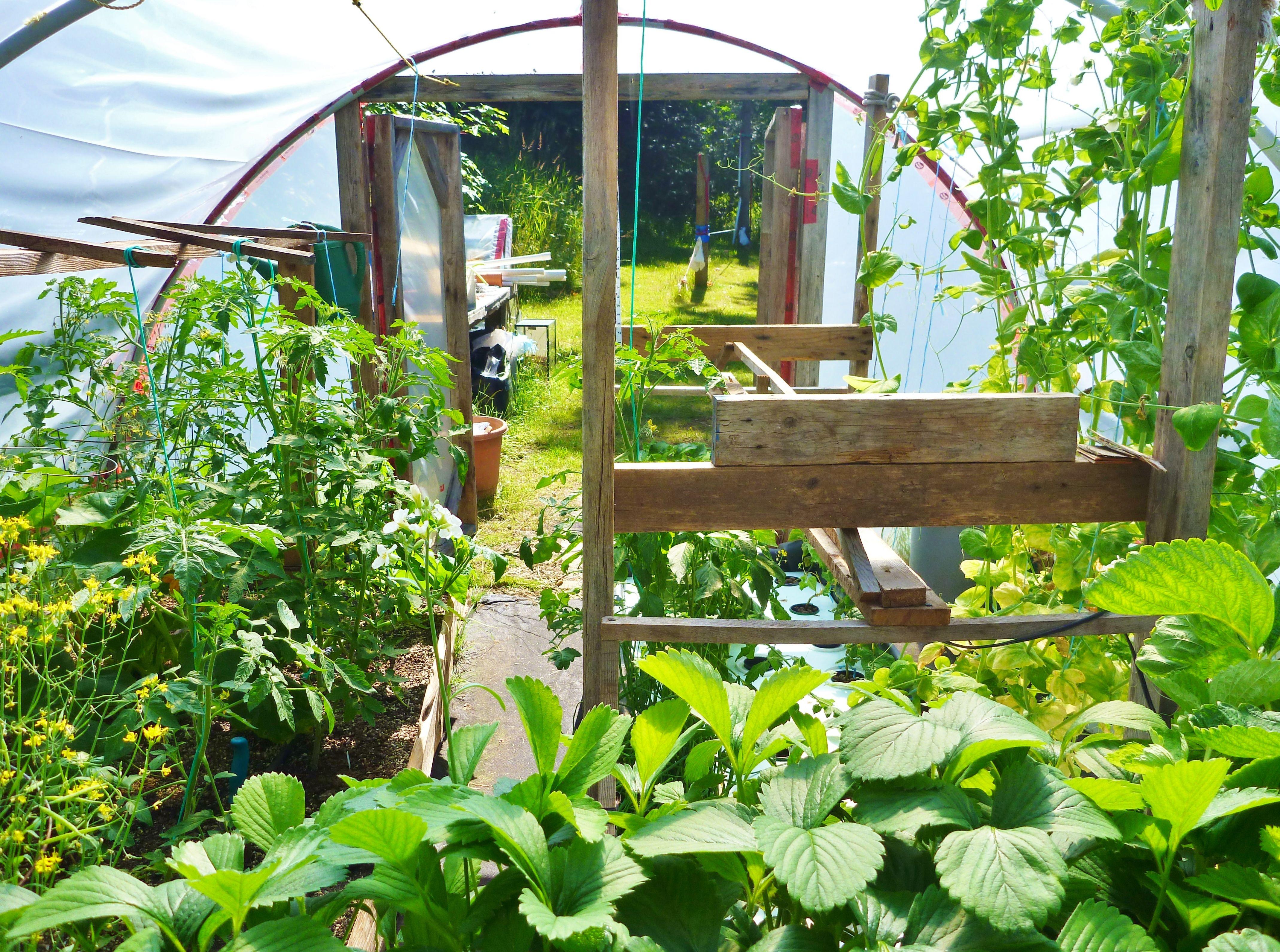 My aquaponics greenhouse year round growing of tilapia for Tilapia aquaponics