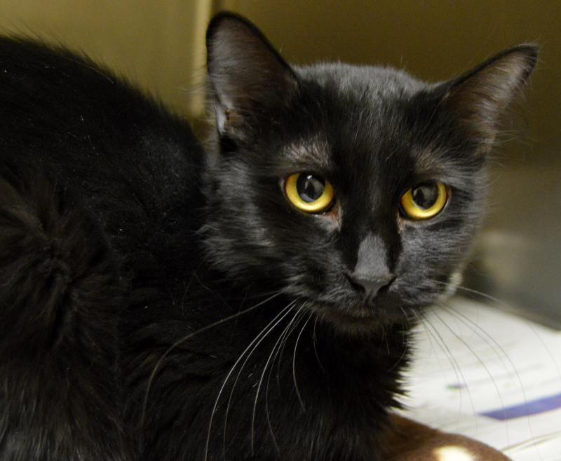 Meet Stella, a Petfinder adoptable Domestic Medium Hair Cat | Wyoming, MN | Name: StellaAge: 10 months - 1 yearBreed: DMH - BlackHow I Arrived At NHS: I was found as a stay...