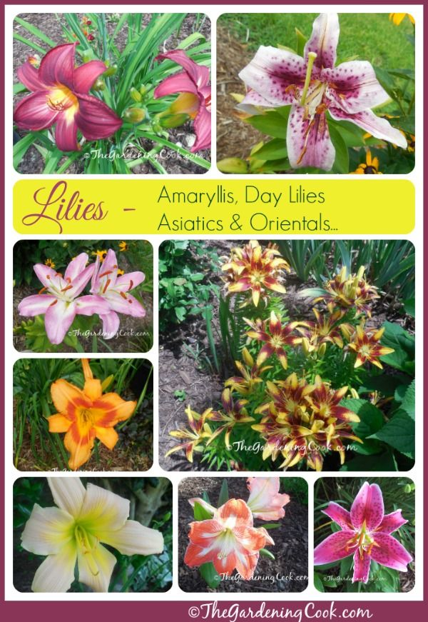 It S Lily Time Varieties Of Lilies In My Garden Day Lilies Flower Garden Lily Garden
