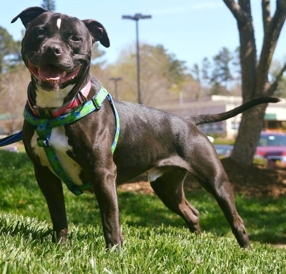 Adopt Chewy On Dogs Kids Pitbull Terrier Terrier Mix Dogs