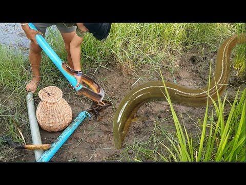 Wow Biggest Eel Amazing Big Eel Fish Biggest Eel Fish Amazing I Amazing Places To Visit