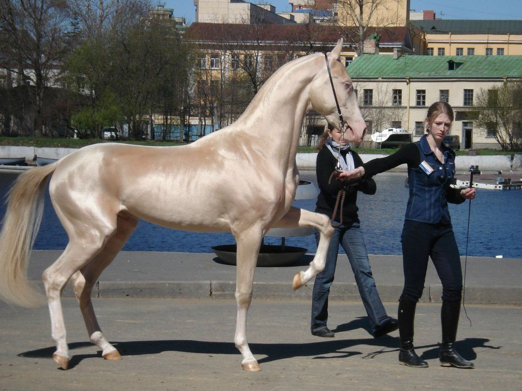 Beautiful Wallpaper Horse Akhal Teke - d01ee6f00dc037b052c324c3cd08df35  Perfect Image Reference_1003150.jpg