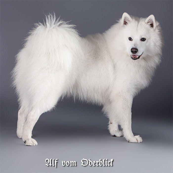 Grossspitz Weiss Unser Spitz American Eskimo Dog Deutscher