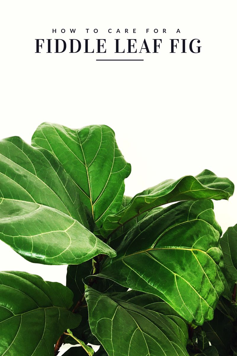 How To Care For A Fiddle Leaf Fig Tree Gardening House