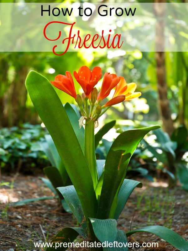7 Tips For Growing Freesia Freesia Flowers Fresia Flower Wildflower Garden