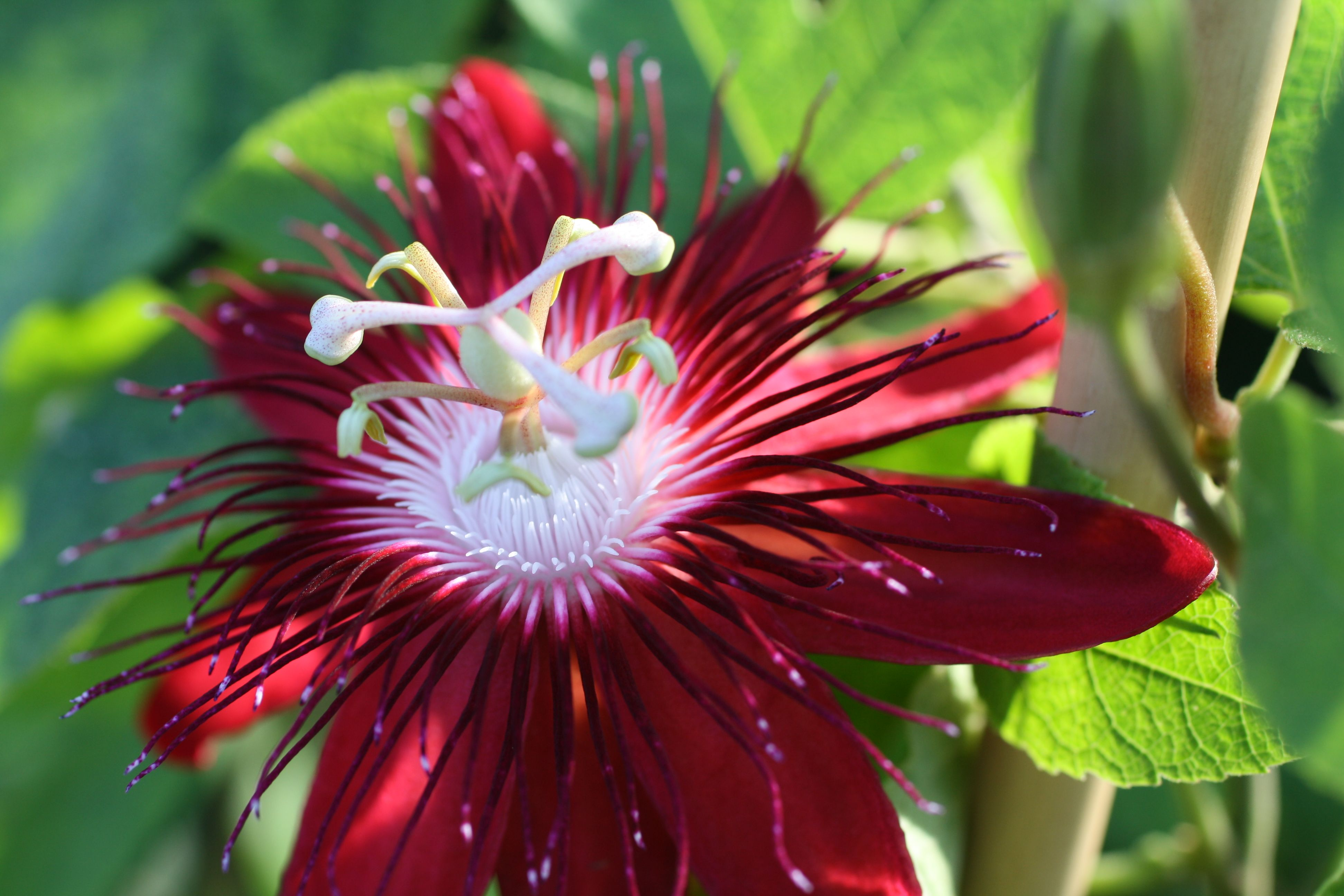 The Passion Of Flowers Passiflora Love Flowers Clematis Flower