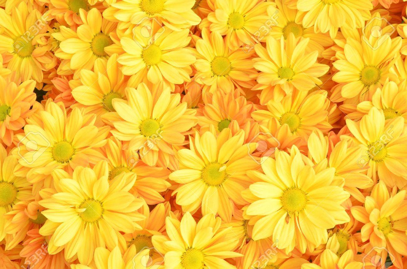 Stock Photo Flower backgrounds, Chrysanthemum flower
