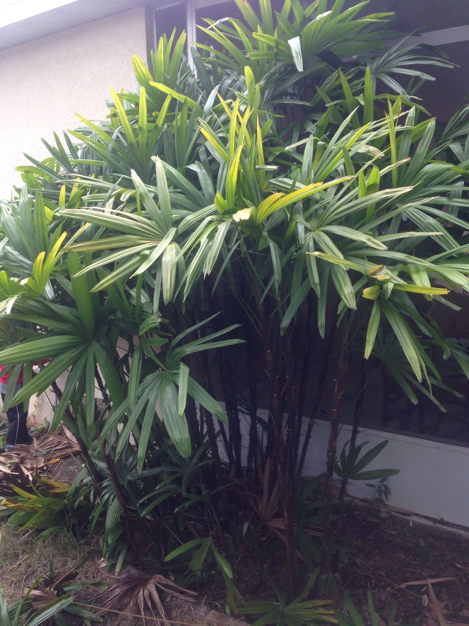 How To Divide A Rhapis Excelsa More Commonly Called Lady Palm Plants Garden Palm